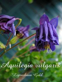Aquilegia vulgaris Leprechaun Gold