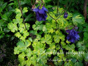 Aquilegia vulgaris Leprechaun Gold 2