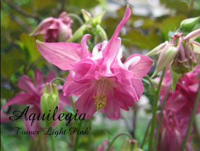 Aquilegia Tower Light Pink