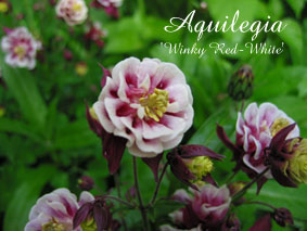 Aquilegia Winky Red-White