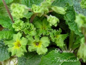 Primula Francisca2