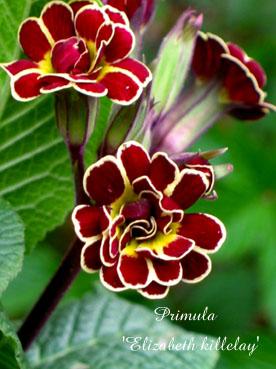 Primula Elizabeth killelay2