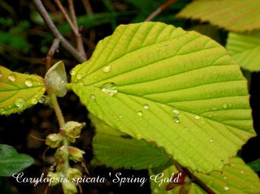 Corylopsis spicata Spring Gold