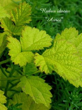 Rubus idaeus Aurea