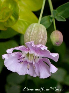 Silene uniflora Rosea1