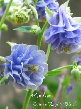 AquilegiaTower Light Blue