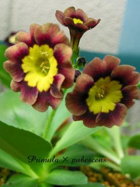 Primula × pubescens4