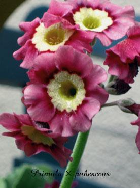 Primula × pubescens5