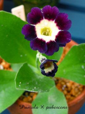 Primula × pubescens6