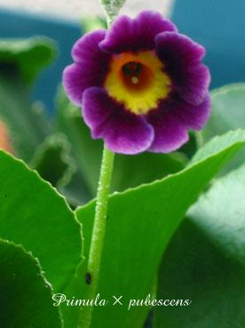 Primula × pubescens7