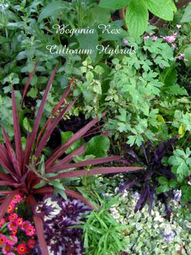 Begonia Rex Cultorum Hybrids1