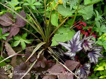 Begonia Rex Cultorum Hybrids2