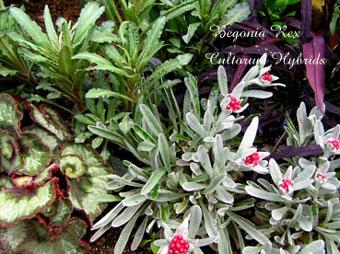 Begonia Rex Cultorum Hybrids3
