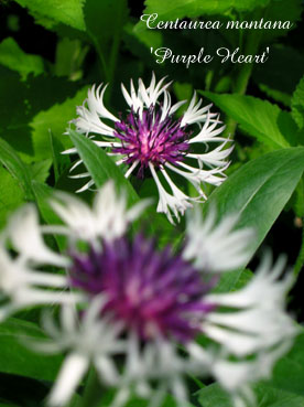 Centaurea montana Purple Heart