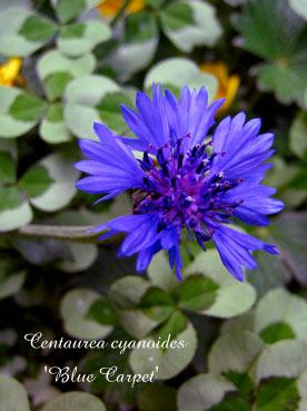 Centaurea cyanoides Blue Carpet3