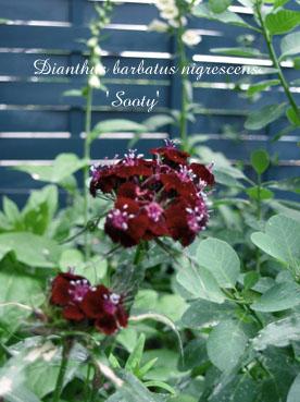 Dianthus barbatus nigrescens Sooty