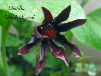 Dahlia Dark Desire