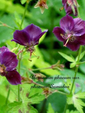 Geranium phaeum var. phaeum Samobor2