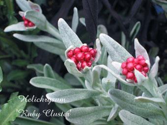 Helichrysum Ruby Cluster2