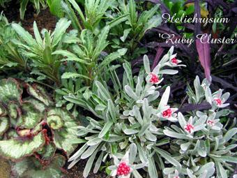 Helichrysum Ruby Cluster 3