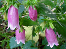 CampanulaCherry Bells
