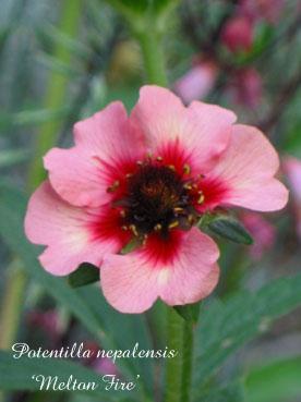 Potentilla nepalensis2