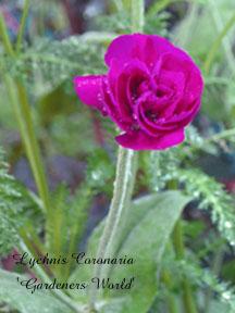 Lychnis Coronaria Gardeners World1