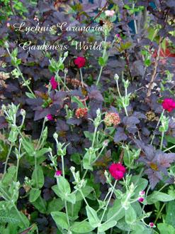 Lychnis Coronaria Gardeners World2
