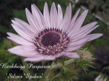 Berkheya Purpurea Silver Spikes