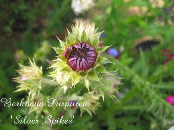 Berkheya Purpurea Silver Spikes2
