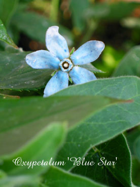 Oxypetalum Blue Star