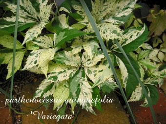 parthenocissus quinquefolia Variegata