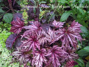 Begonia Rex Cultorum Hybrids