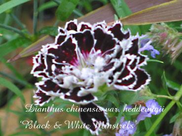 Dianthus chinensis var. heddewigii