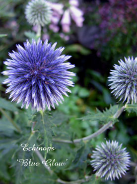 Echinops 'Blue Glow'