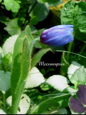 Meconopsis5.jpg
