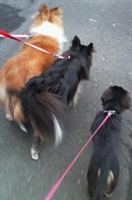 3ワンコのお散歩
