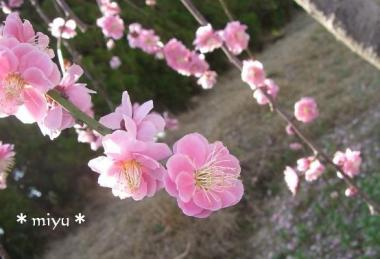 梅の花♪*