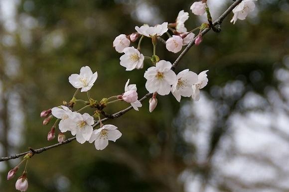 はじめての桜:*:・゚☆