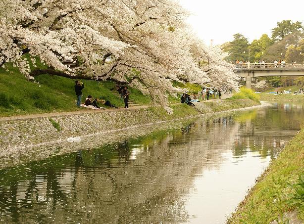 もう散りはじめの桜。.:*・゚☆.。.:*