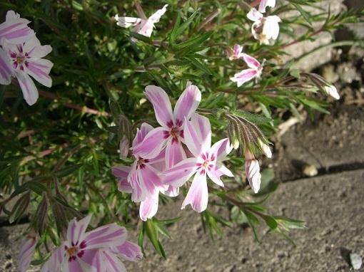 芝桜。.:*・゚☆.。.:*