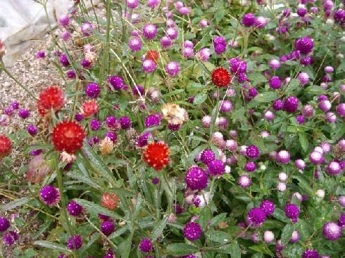 夏の運動会でも咲いてたお花.。.:*・゜゚・*