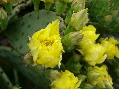 雨の日のサボテンの花。o.゚。*・
