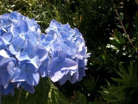 真っ青な紫陽花♪*