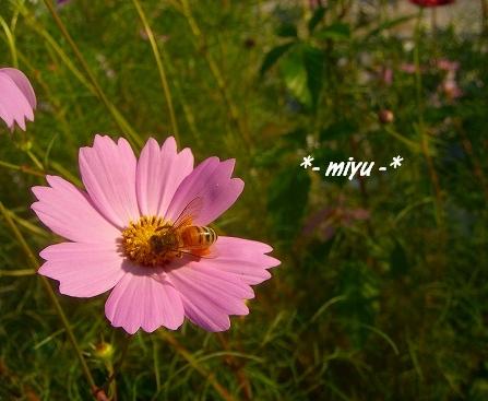 ピンクのコスモス.:*・゚☆.。.:*