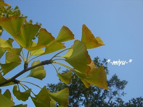 イチョウも秋化粧。o.゚。*・