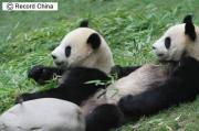 台湾に贈呈予定だったパンダのカップル「団団」と「円円」