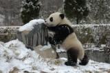 四川省の臥龍パンダ保護研究センターで