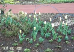 tulipy
