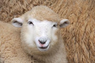 羊 YS0_9076